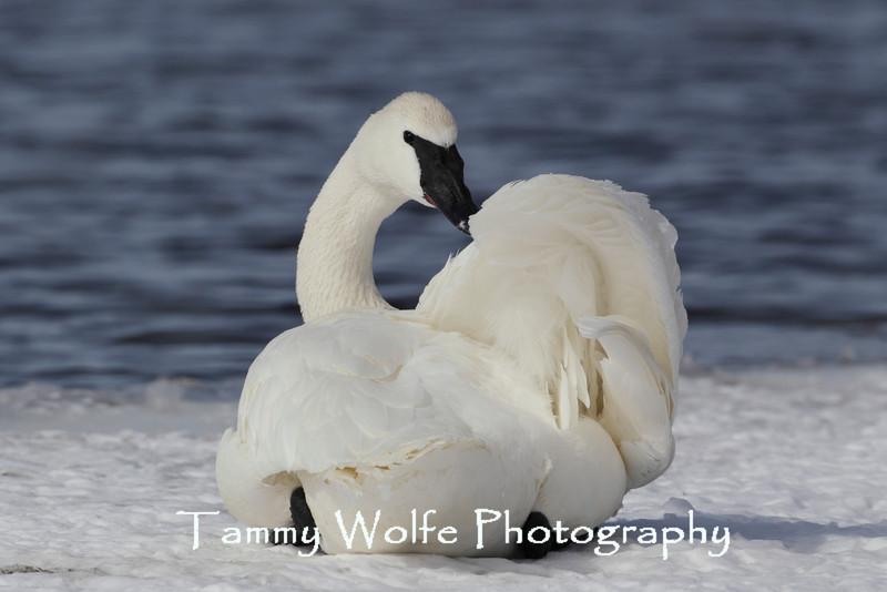 Preening Trumpeter Swan (Cygnus buccinator)