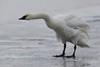 """The Shake"" Trumpeter Swan (Cygnus buccinator)"