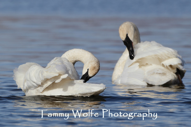 A Pair of Trumpeter Swans (Cygnus buccinator) Preening