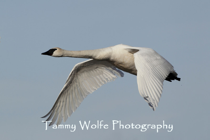 Trumpeter Swan (Cygnus buccinator) in Flight