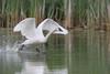 Trumpeter Swan (Cygnus buccinator), Cob chasing some geese