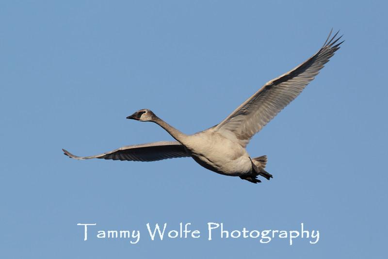 Trumpeter Swan (Cygnus buccinator), Cygnet in Flight