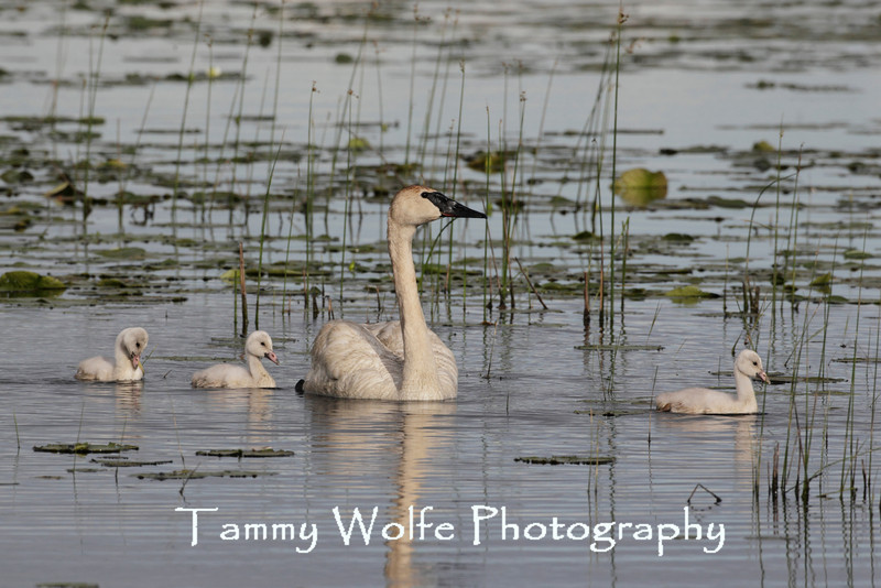 Trumpeter Swan (Cygnus buccinator), Adult with Cygnets