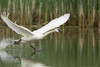 Trumpeter Swan (Cygnus buccinator), Cob protecting territory