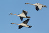 Trumpeter Swan (Cygnus buccinator), Three Cygnets in Flight