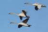 Trumpeter Swan (Cygnus buccinator), Three Cygnets in Flight
