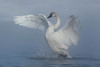 Trumpeter Swan (Cygnus buccinator) in Heavy Fog