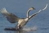 Trumpeter Swan (Cygnus buccinator), Cygnet Landing