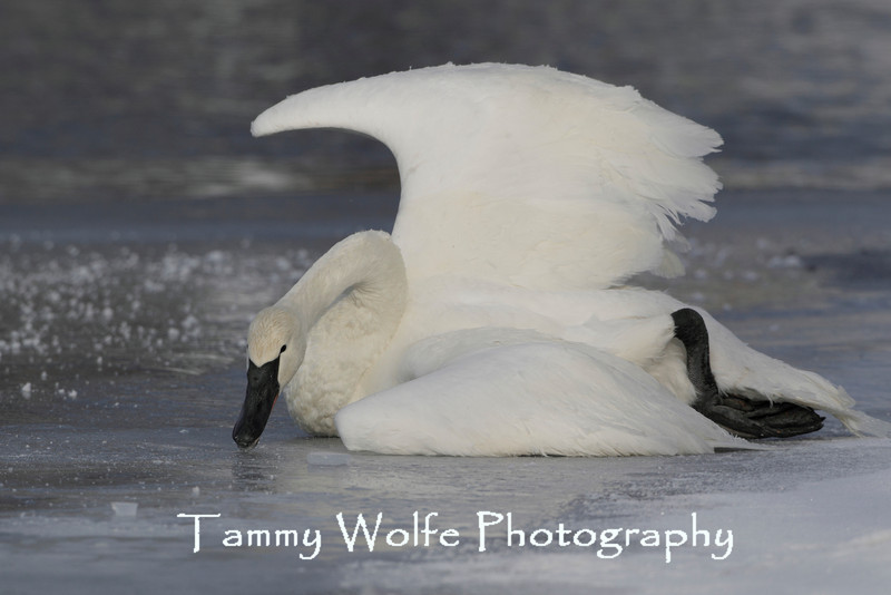 Dying Trumpeter Swan (Cygnus buccinator), Possible lead poisoning