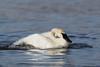 Trumpeter Swan (Cygnus buccinator) Bathing