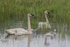 Trumpeter Swan (Cygnus buccinator) Family