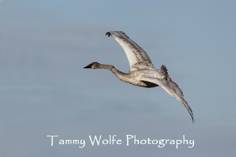 Trumpeter Swan (Cygnus buccinator), Cygnet with bent neck