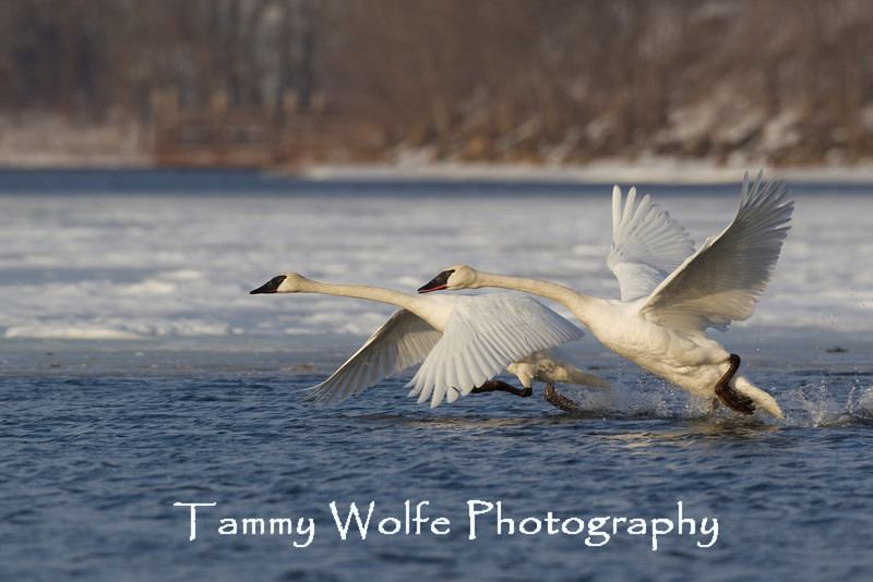 Trumpeter Swans (Cygnus buccinator), Taking Off