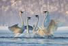 Trumpeter Swan (Cygnus buccinator) Skirmish