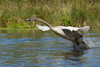 Trumpeter Swan (Cygnus buccinator) Cygnet