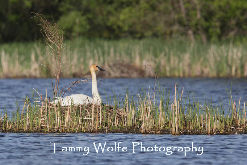 Trumpeter Swan (Cygnus buccinator) on the nest