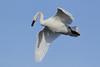 Trumpeter Swan (Cygnus buccinator)