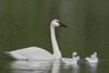 Trumpeter Swan (Cygnus buccinator), Adult with cygnets