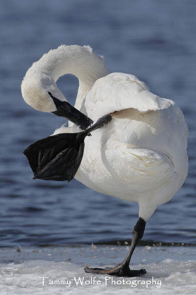 Trumpeter Swan (Cygnus buccinator) Preening