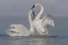 Trumpeter Swans (Cygnus buccinator) in Fog