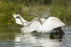 Trumpeter Swan (Cygnus buccinator), Two Cygnets trying to fly