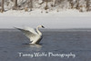 Tundra Swan with Outstretched Wings (#4260)