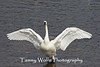 Tundra Swan Stretching Wings