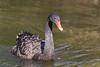 Black Swan (Cygnus atratus )*