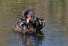 Black Swan (Cygnus atratus )