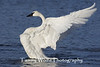 Trumpeter Swan Stretching its Wings