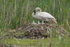 Trumpeter Swan (Cygnus buccinator), Pen with Cygnets on the Nest
