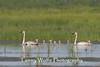 Trumpeter Swans (Cygnus buccinator) with Cygnets