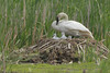 Trumpeter Swan (Cygnus buccinator), Pen with Cynets on the Nest