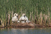 Trumpeter Swan (Cygnus buccinator), Pen and Cob at the nest with cygnets