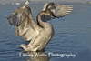 Trumpeter Swan spreading its wings