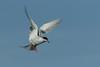 Forster's Tern (Sterna forsteri)
