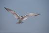 Royal Tern (Sterna maxima)