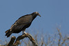 Immature Turkey Vulture (Cathartes aura)