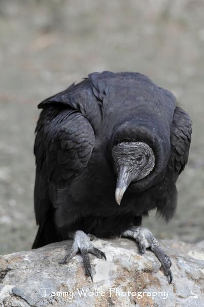 Black Vulture (Coragyps atratus)