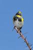 Yellow-rumped Warbler (Dendroica coronata)