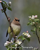 Cedar Waxwing on a Flowering Apple Tree