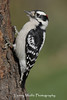 Downy Woodpecker (Photo #2644)