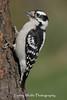 Downy Woodpecker (Photo #2644)