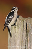 Downy Woodpecker on a Fence Post