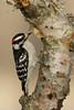 Downy Woodpecker ( Picoides pubescens)