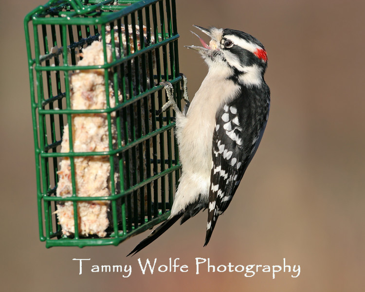 Downy Woodpecker hanging on a suet feeder