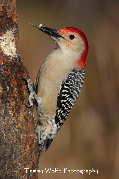 Red-Bellied Woodpecker with tongue sticking out (Photo #2527)