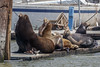 Harbor Sea Lions 1