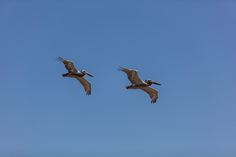 Flying Pelicans 2