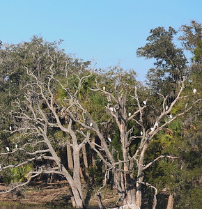 Snowy Egrets in a Day Roosting Tree